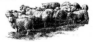 Troupeau de moutons réserve naturelle du sabot de Frotey